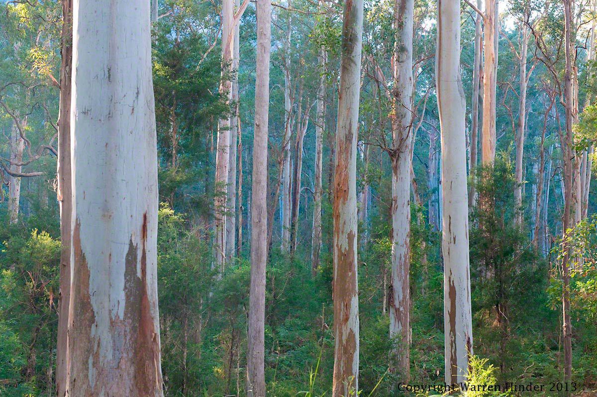 Bluegum Forest Grose Valley Blackheath