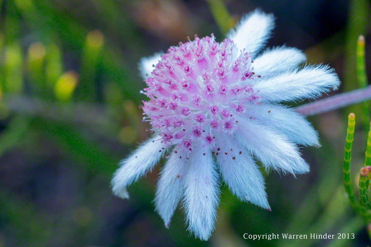 Warren-Hinder-Copyright-2013-Pink-Flannel-Flower-Dec-13-detail.jpg