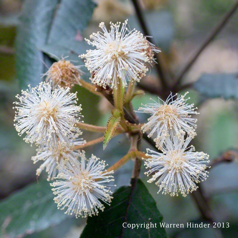 Warren-Hinder-Copyright-2013-Gum-Blossom-detail.jpg