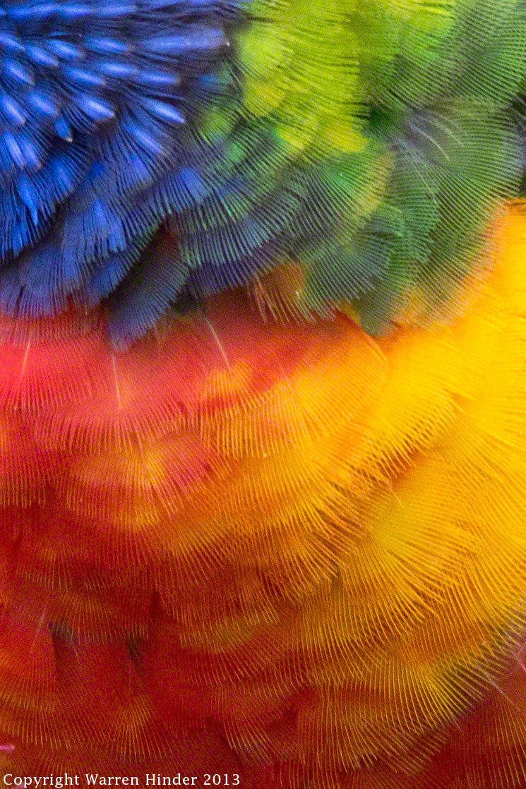 Warren-Hinder-Copyright-2013-Rainbow-Lorikeet-Detail.jpg