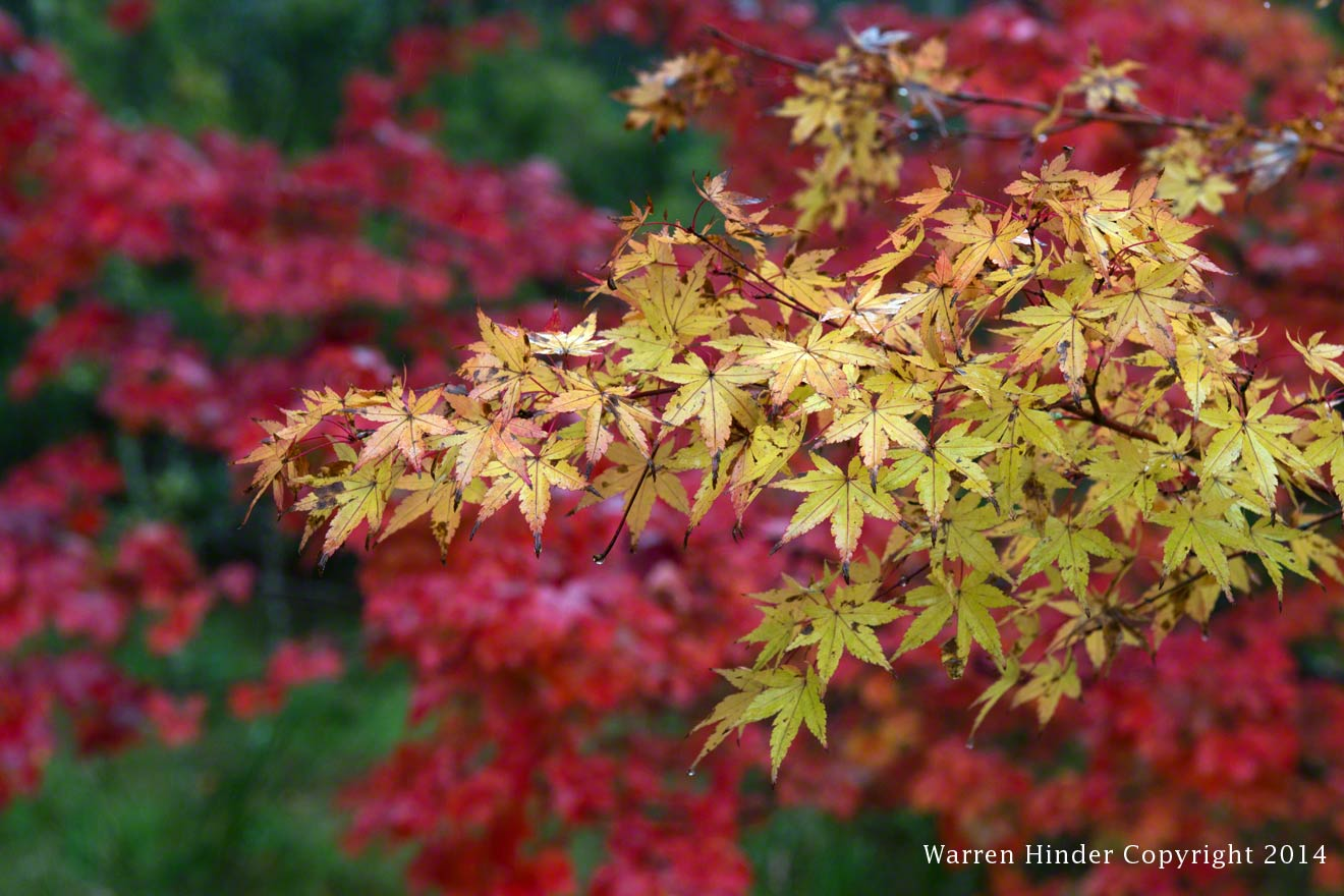 Warren-Hinder-Copyright-2014-Autumn-Colours-Katoomba-close-up-3.jpg
