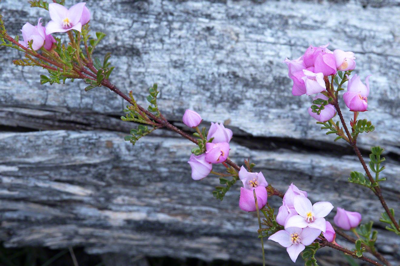 Boronia-microphylla-2-Warren-Hinder-2014.jpg