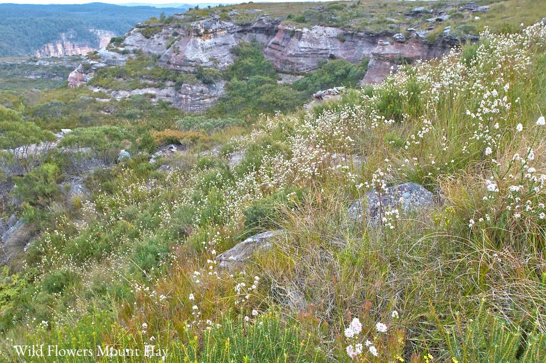 Warren-Hinder-Flowers-erupt-mt-Hay.jpg