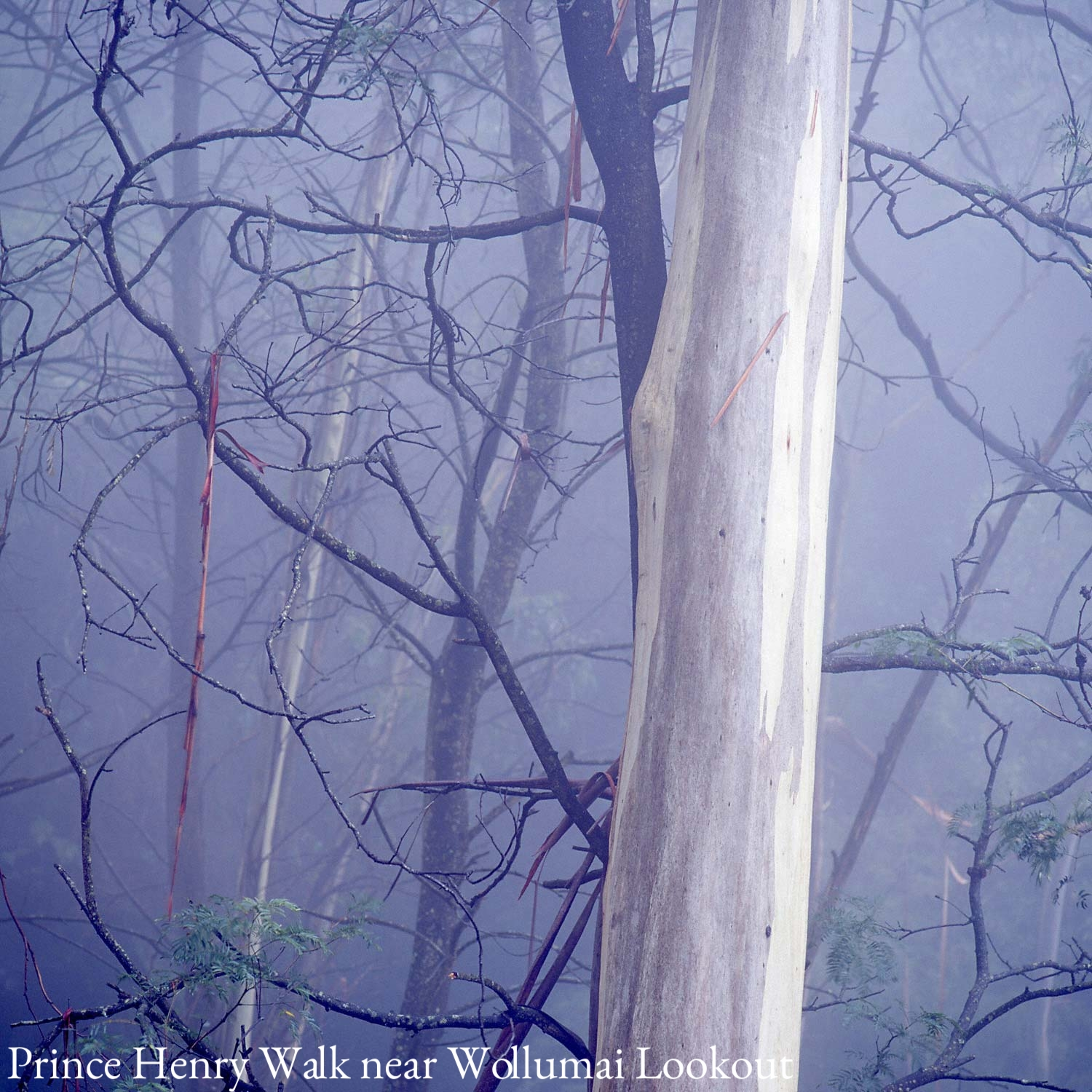 Warren-Hinder-Square-Tree-Mist-Prince-Henry-.jpg