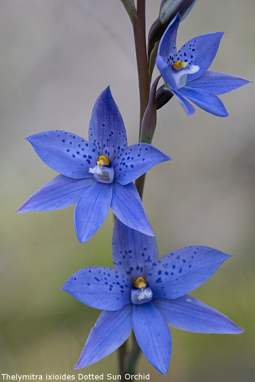 Sun-Orchid-lo-res.jpg