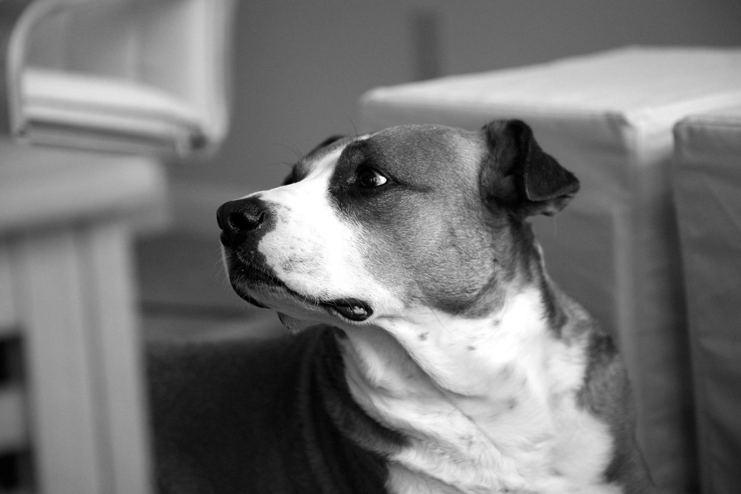 A photo of my handsome dog, Otis .
