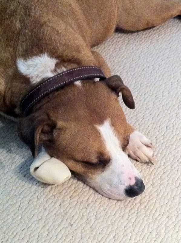 Otis fell asleep on his chew toy. He's the cutest.