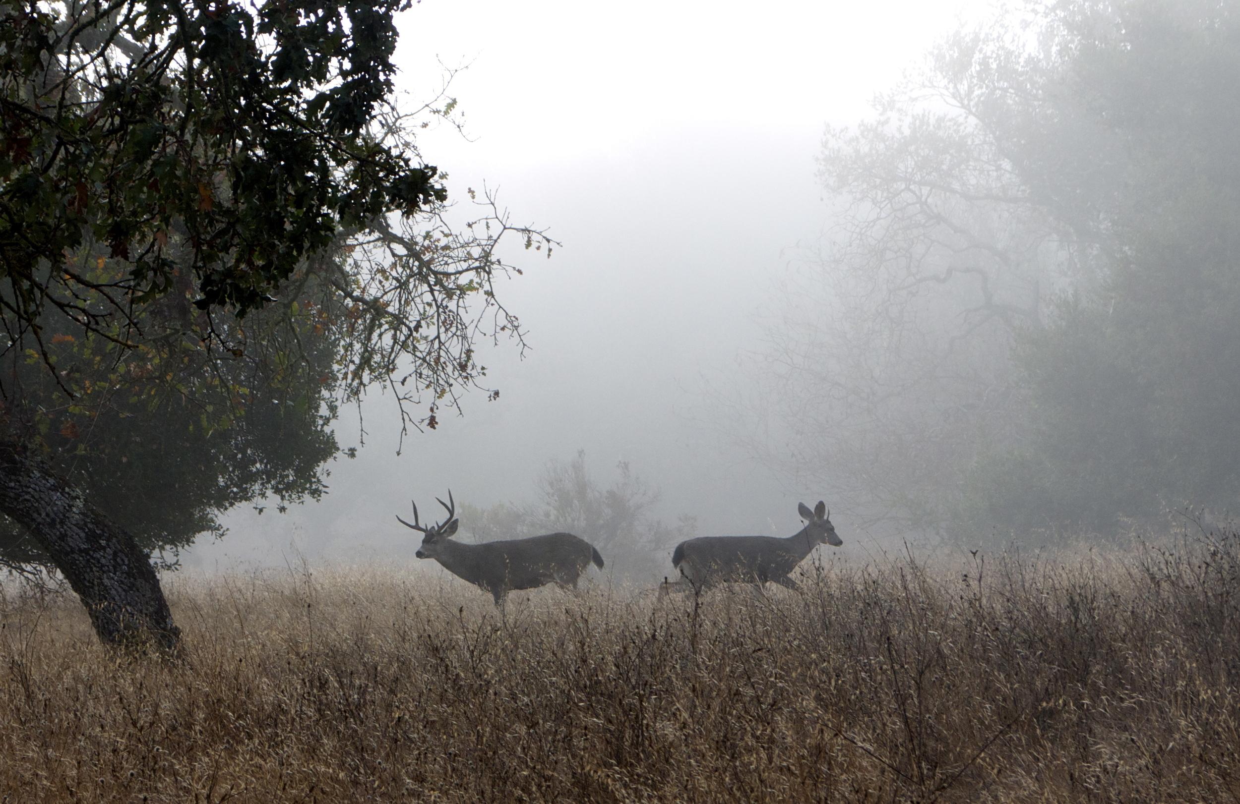 Deer In Fog - Skyline Wilderness Park in Napa, CA