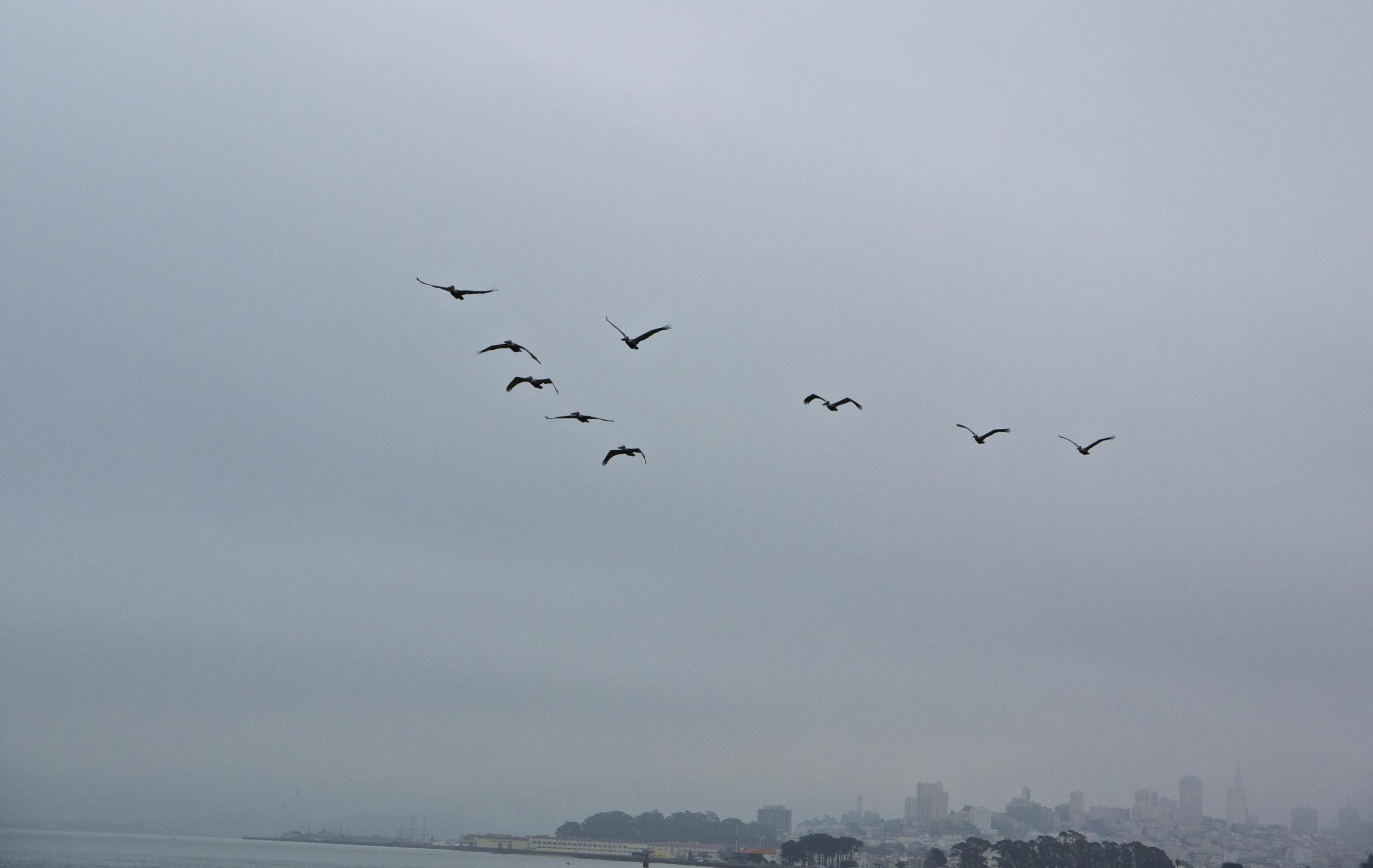 Pelicans Flying V Formation