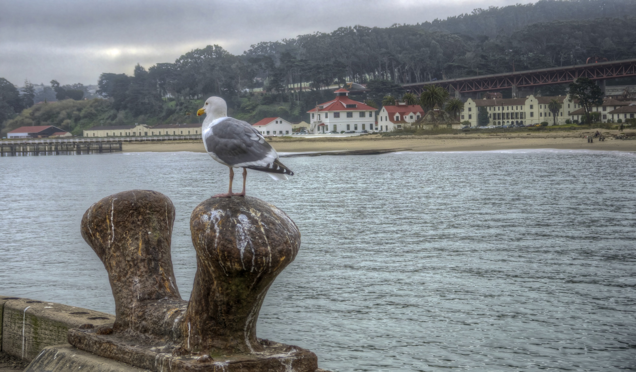 Seagull, with Crissy Field in background.