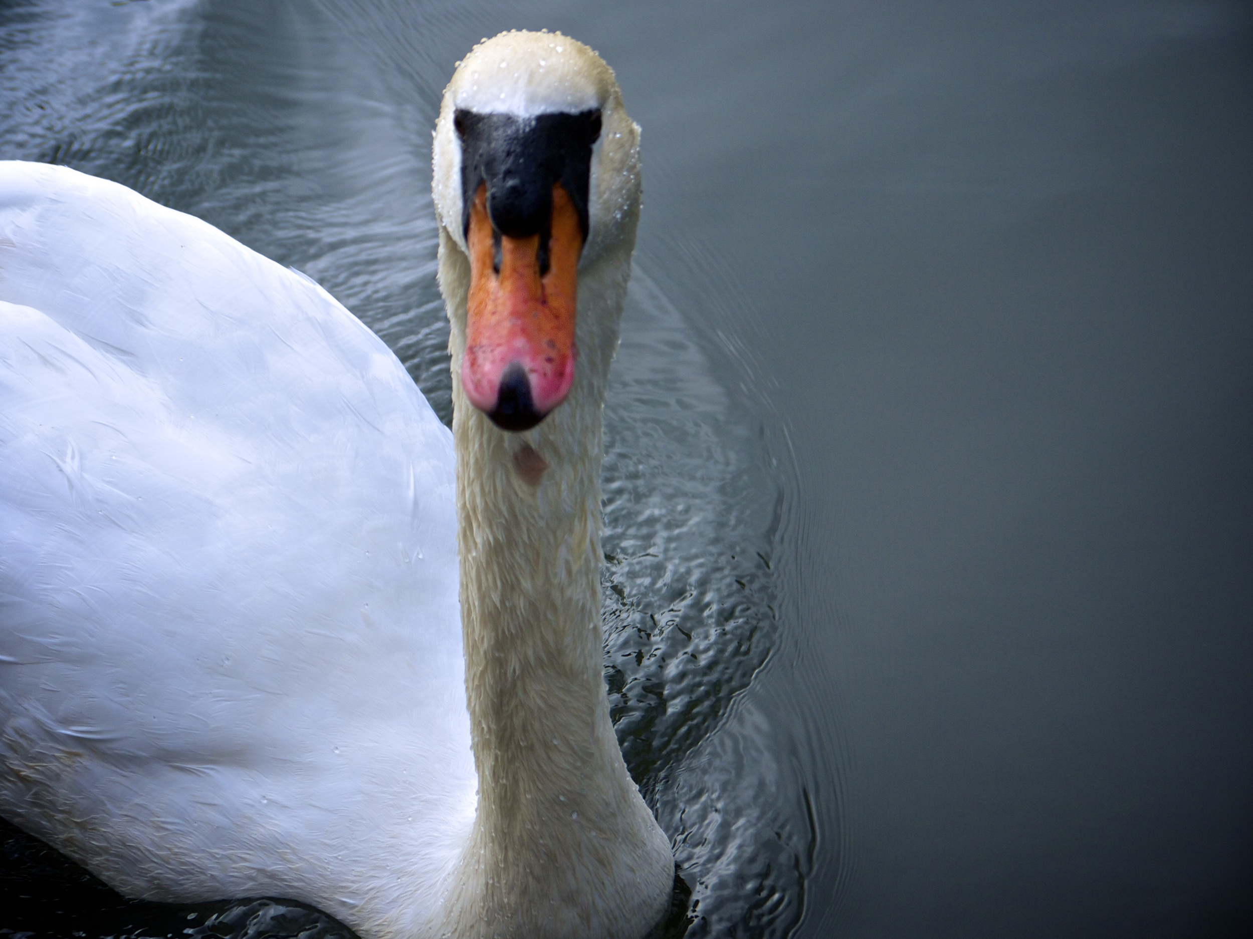 The Famous Swans