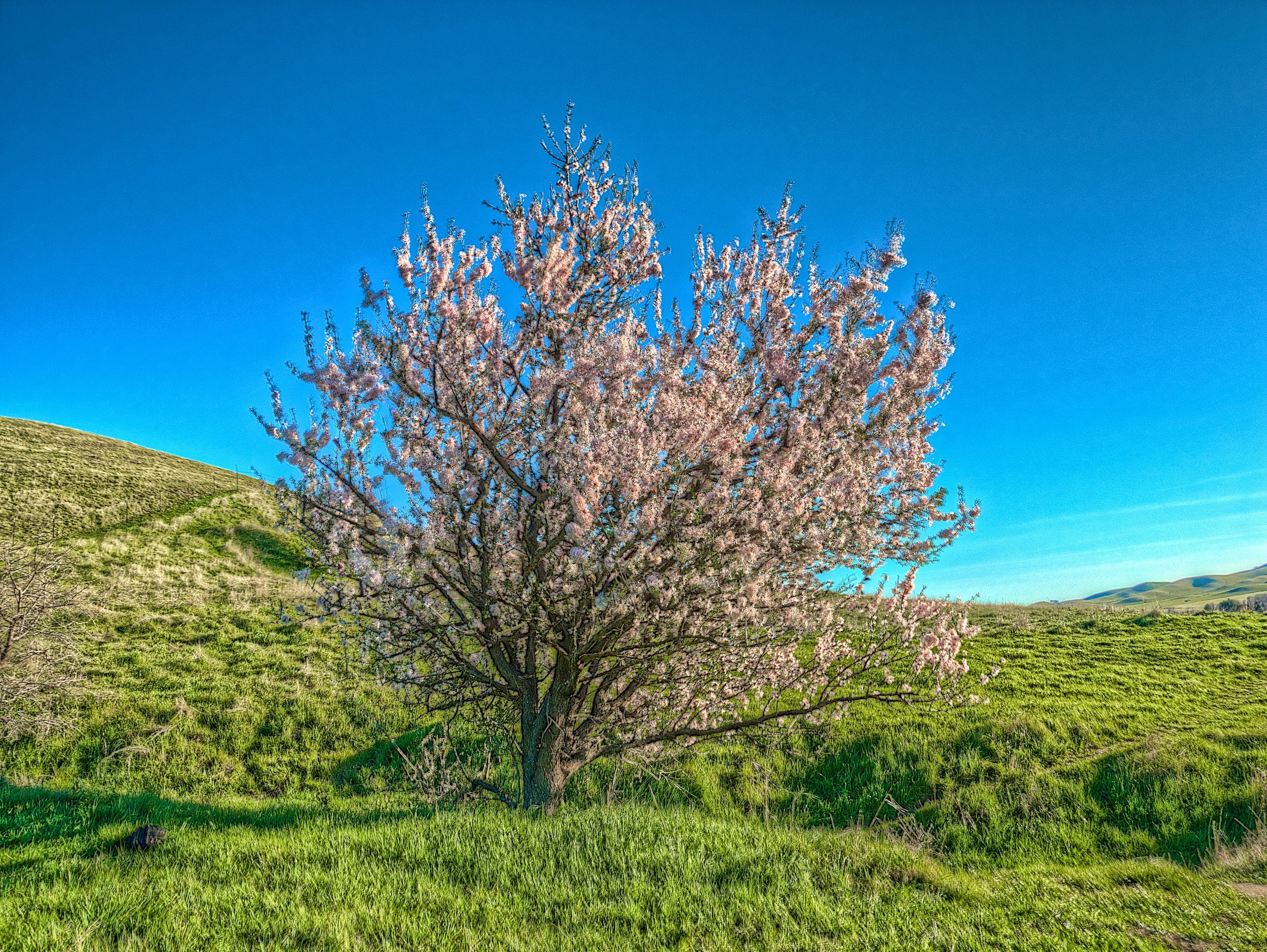 Along the hillside, a lone cherry tree blossoms.