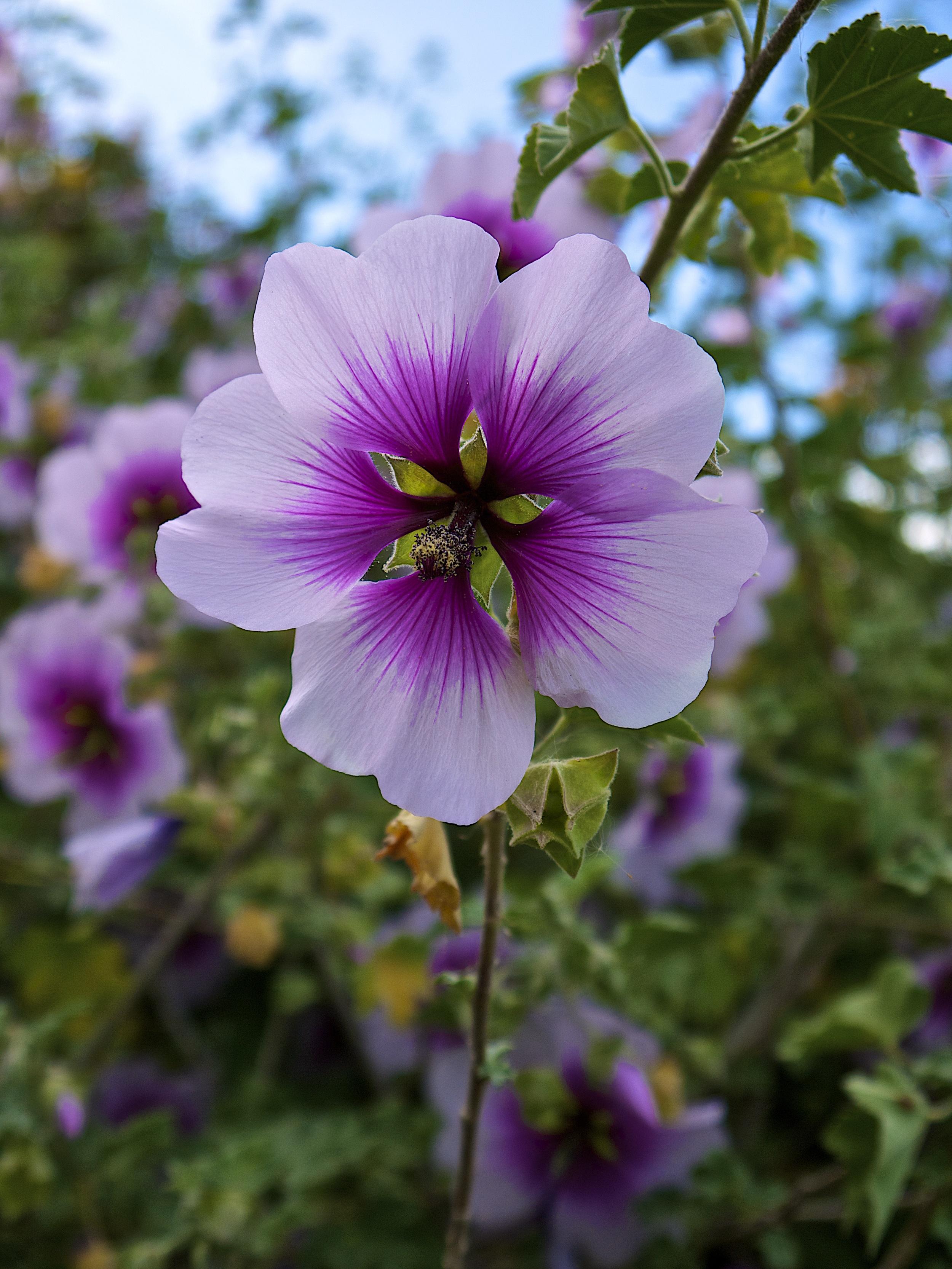 Flowerlingus
