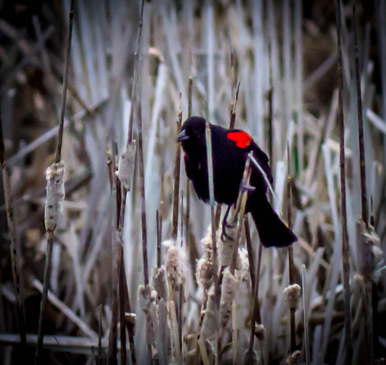 Bird in the reeds