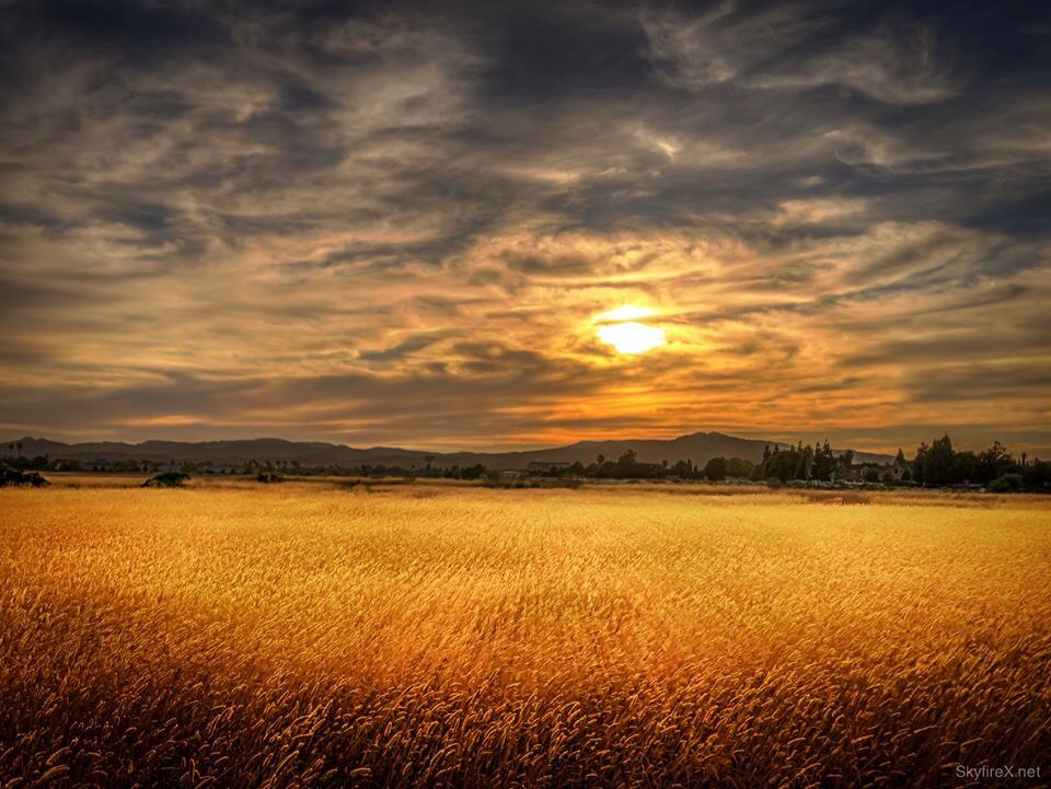 Golden grass lit by the setting sun in Suisun Marsh