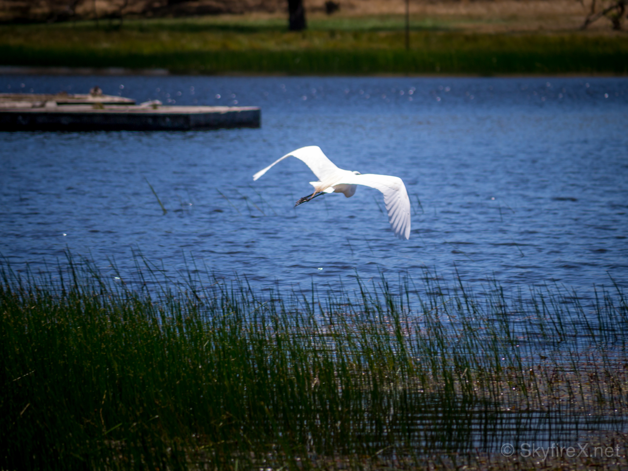 One of the egret denizens of Rockville flies low over the blue lake.