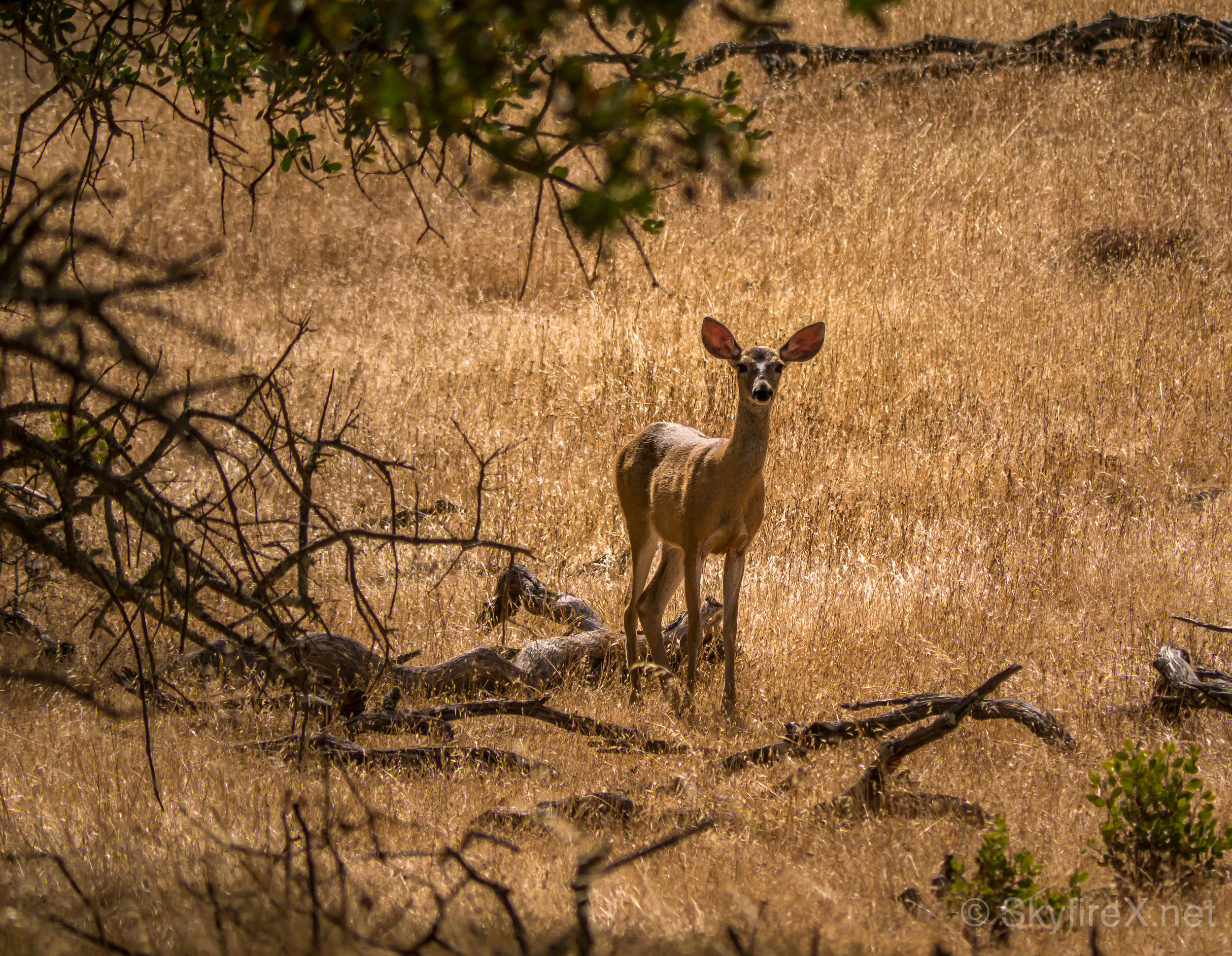 This one stood there a few moments and then followed the other deer into the trees.