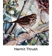 Hermit Thrush–mos_thmb.jpg