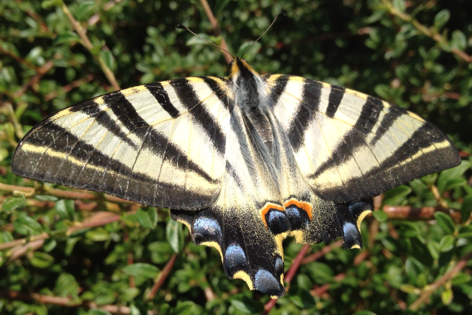 Southern Swallowtail Butterfly (Iphiclides feisthamelii)