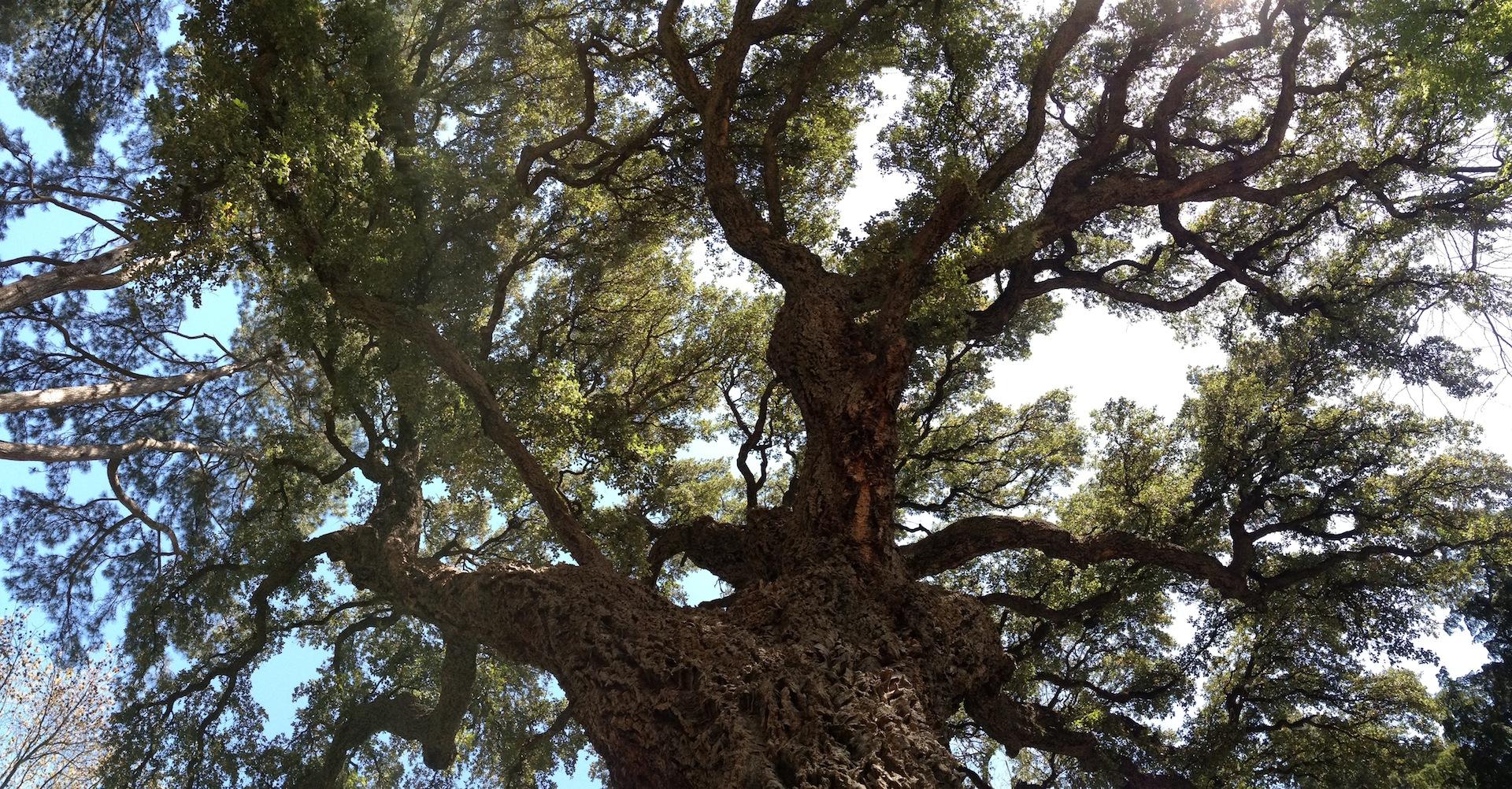 Magnificent Cork Oak in Botanical Gardens Florence