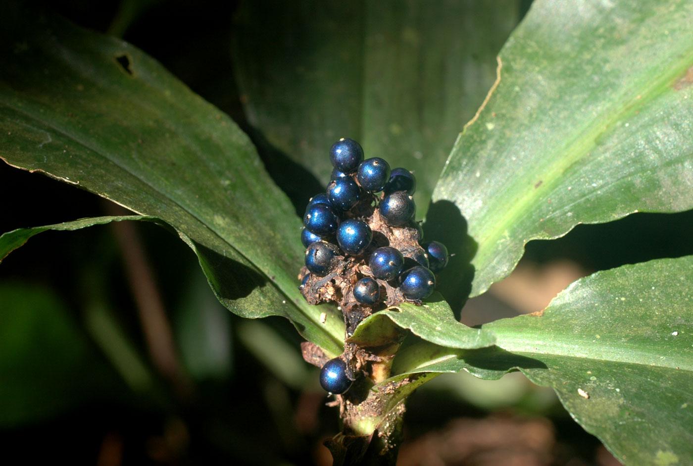 Pollia-condensata-marble-berries-berry-jessewaugh.com-3.jpg