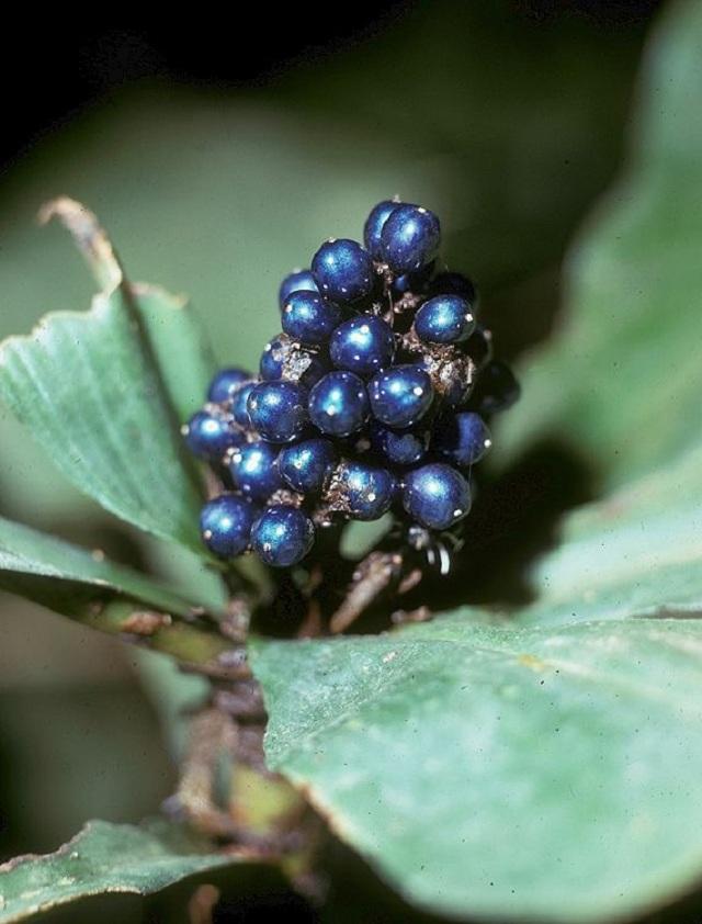 Pollia-condensata-marble-berries-berry-jessewaugh.com-1.jpg