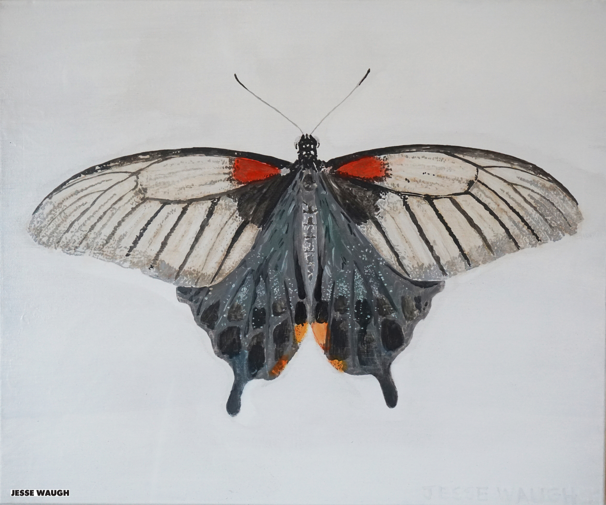 JESSE WAUGH   PAPILIO MEMNON F ANCEUS FEMALE BUTTERFLY   BUTTERFLY 1 2015 OIL ON CANVAS