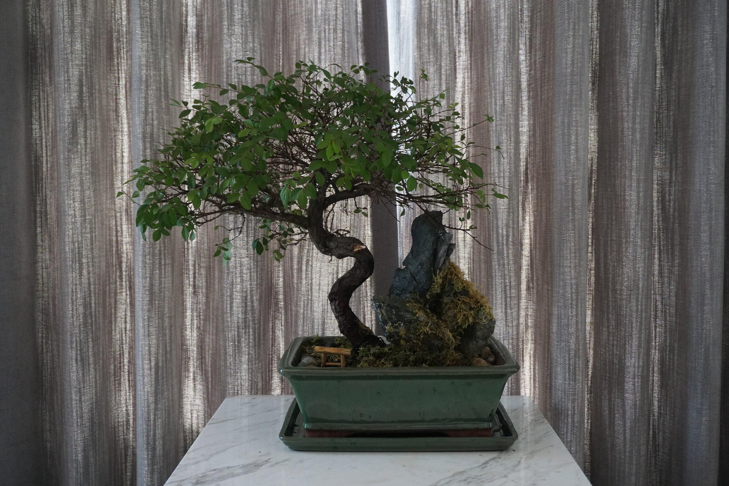 Center Bonsai after repotting