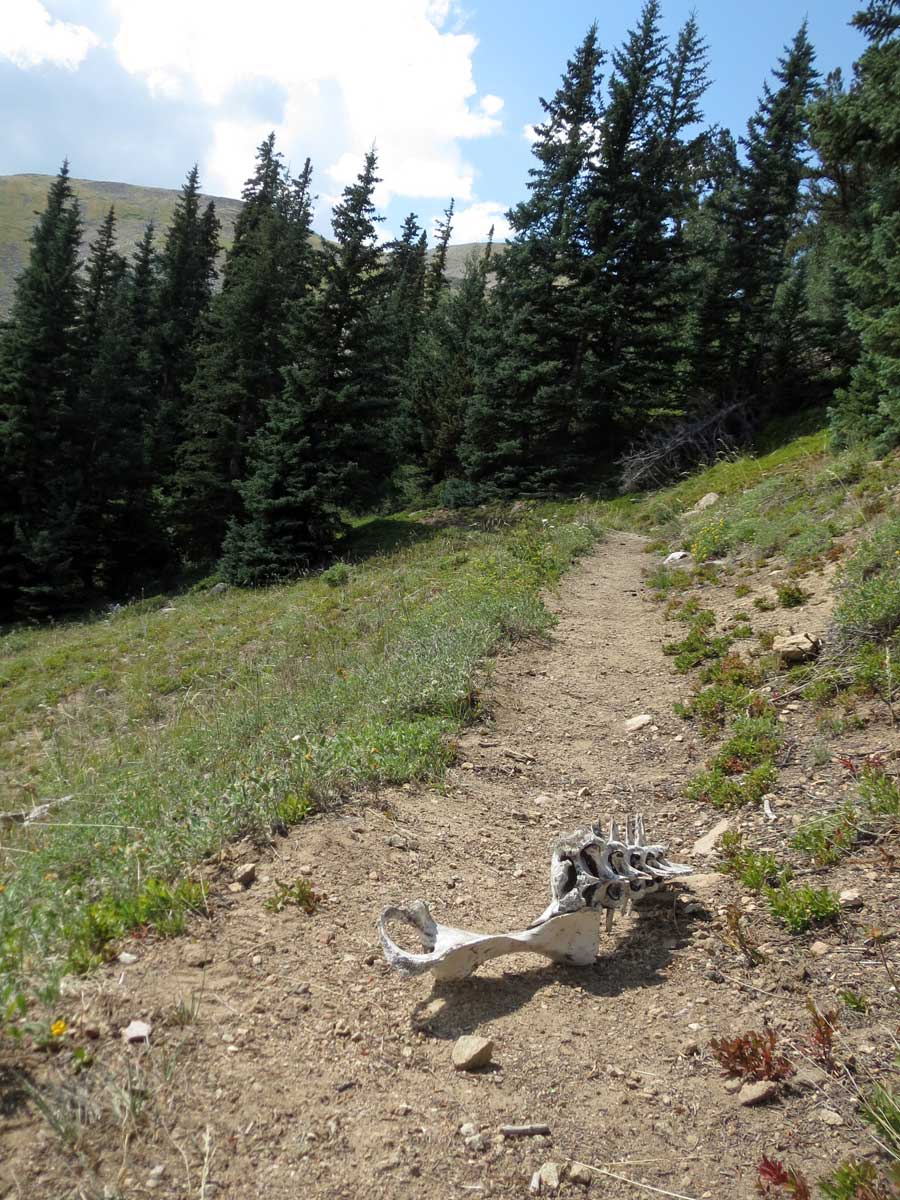 Though the climb was hard, I survived to tell the tale.These were the bones of some other poor hiker. (just kidding. possibly elk)