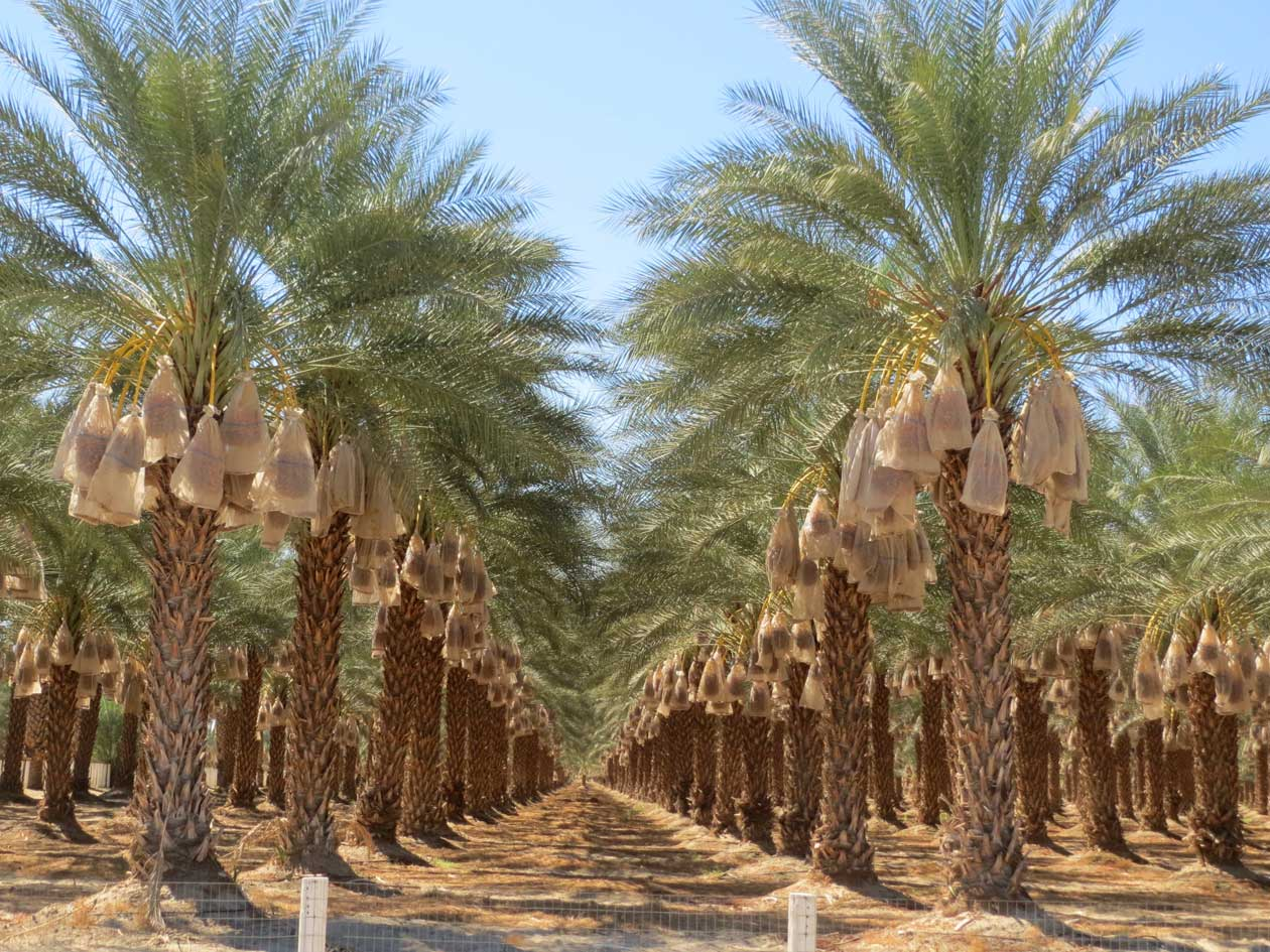 Date palms growing just north of the Salton Sea, California