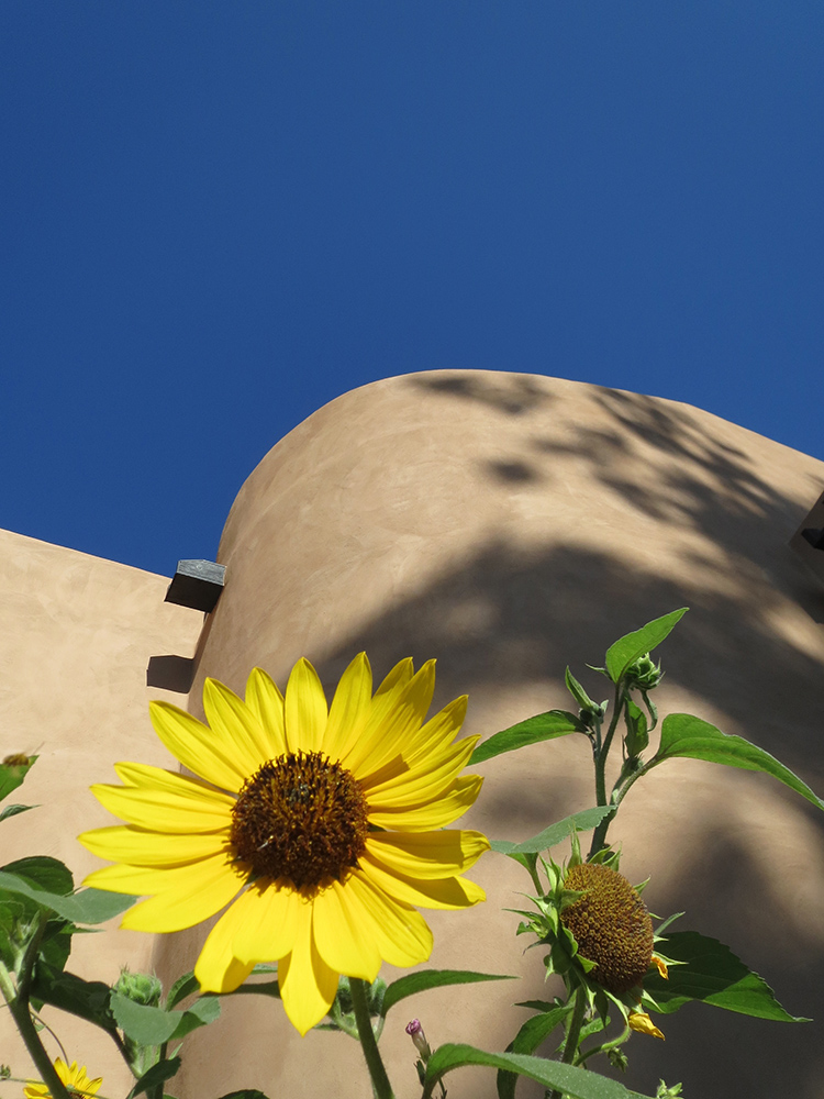 Sunflower in downtown Santa Fe. New Mexico blue skies.