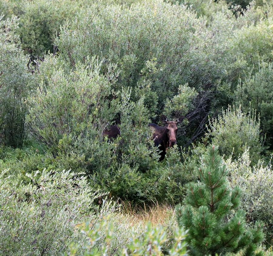 Mama Moose! At CSU Mountain Campus, Pingree Park, CO