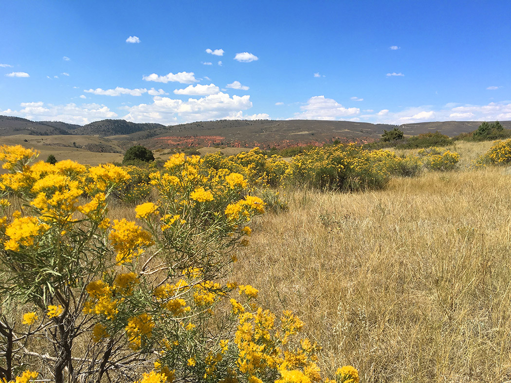 Chamisa blooming at Red Mountain Open Space, Larimer County, Colorado