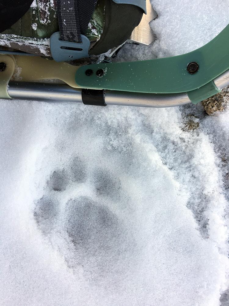 BIG kitty track
