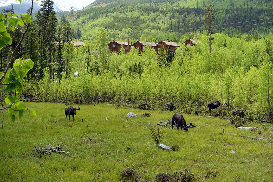 There are four moose in this photo taken from the deck of my cabin.