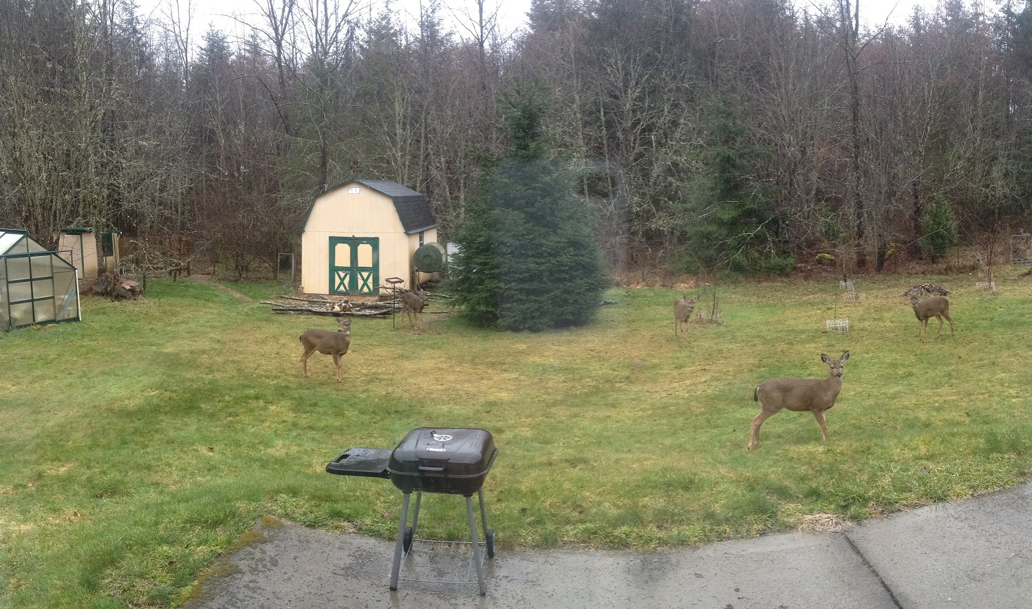 Six deer in the backyard