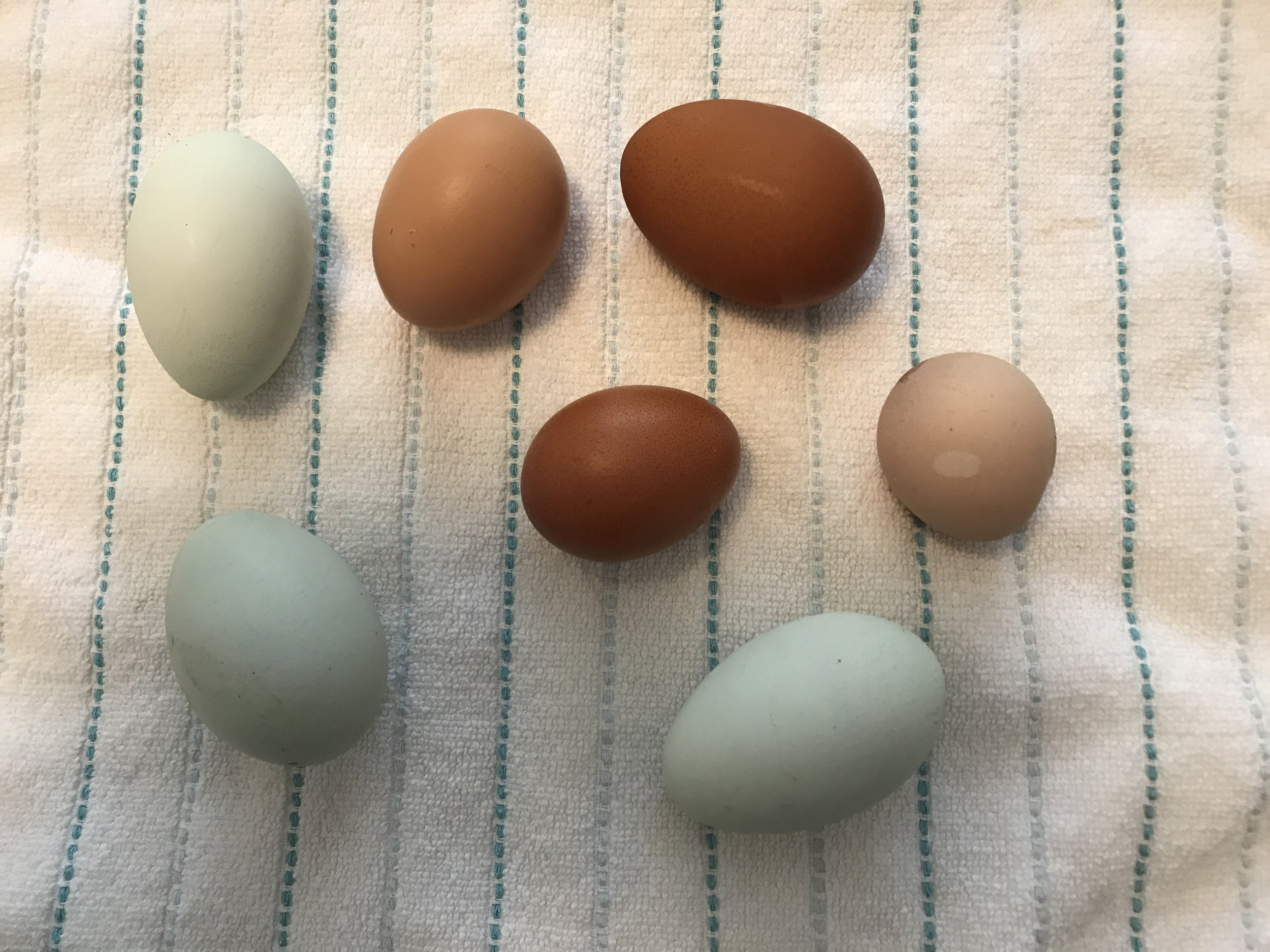 Eggs from seven of our chickens