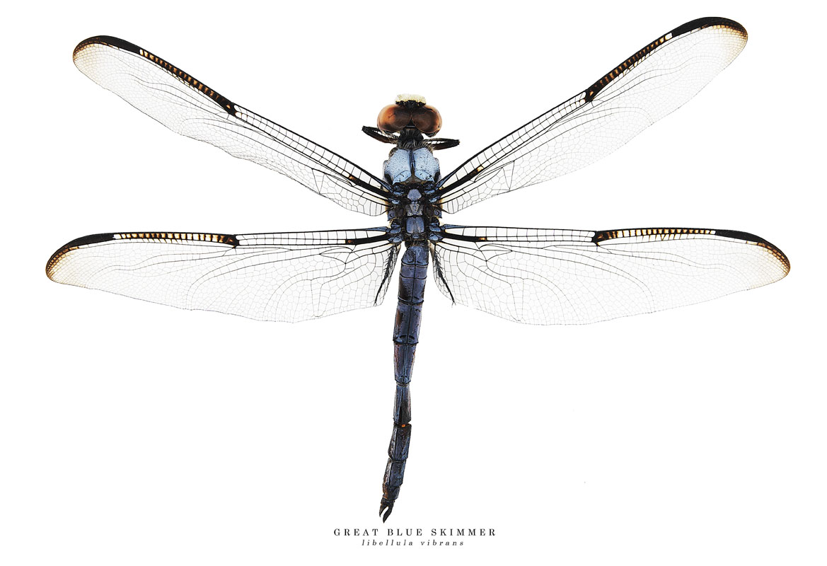 great blue skimmer.jpg