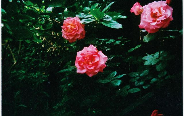 Midnight roses 🥀 | Photo taken in our Hollywood garden | Shot on Holga #35mm camera using Fuji Superia film