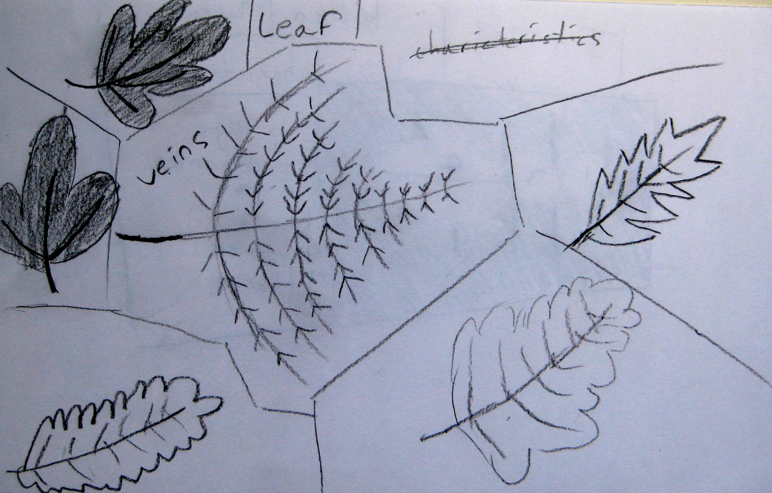 Student diagrams of leaves & insects.