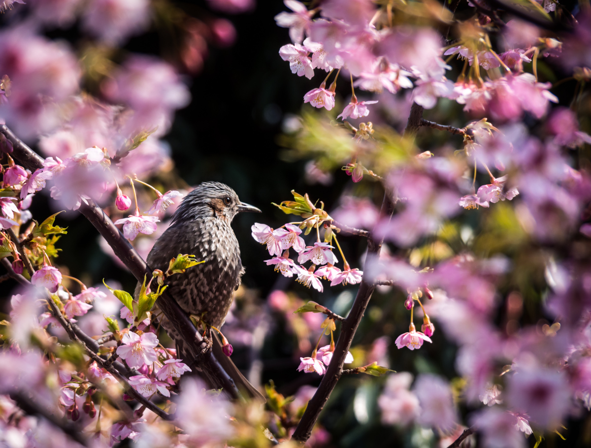 Blossoms and Birds 9 Mar 14-40-Edit.jpg