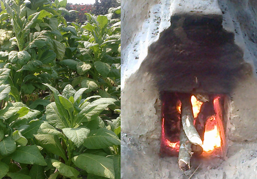 Poison for profit: tobacco cultivation