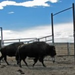 There were buffalo on the ranch…did I mention I'm a city girl? -