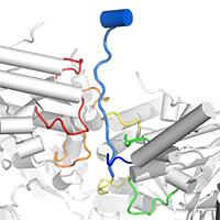 E. coli CdnC:HORMA:Pch2
