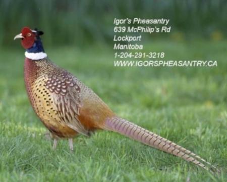 Ring-necked_Pheasant_s60-13-003_l_1 (1).jpg
