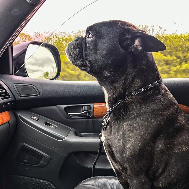 """Sunday co-pilot. I swear Margot is part human. """"Let's roll, Pops."""" #frenchie"""