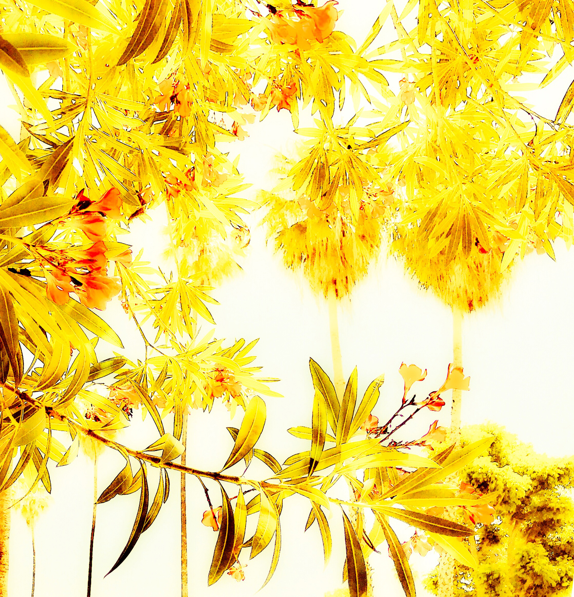 goldtrees-IMG_7911-sq.jpg
