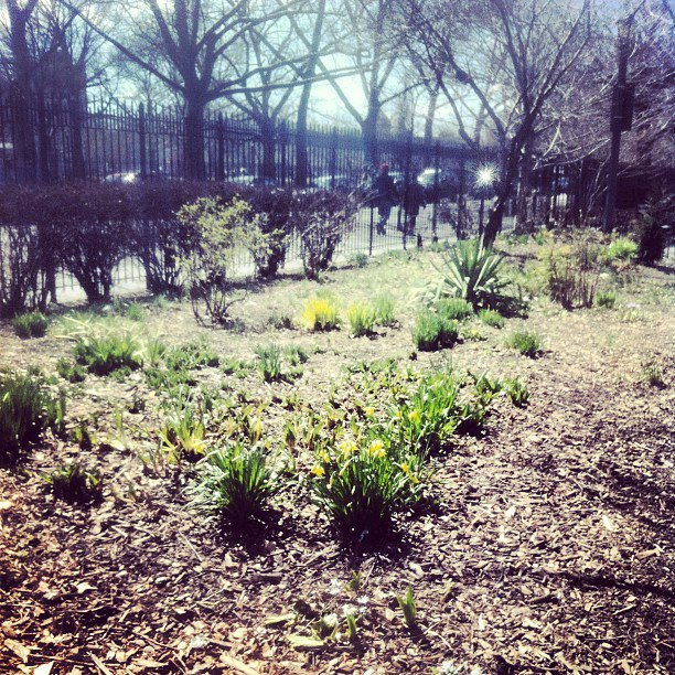 The first blooms of the year come to Brooklyn...