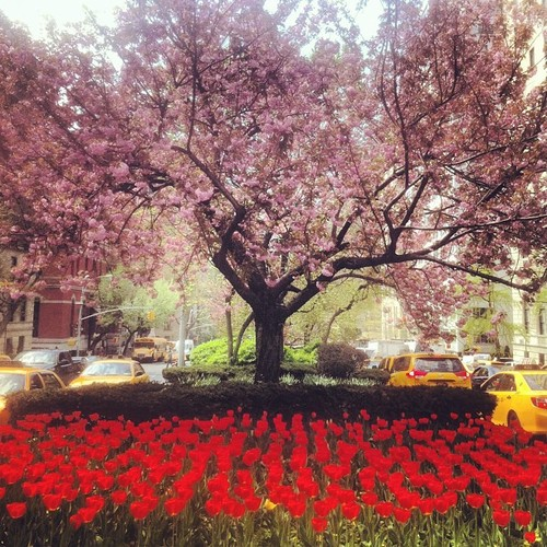 Tulips and flowering tress on Park Avenue, East 70's