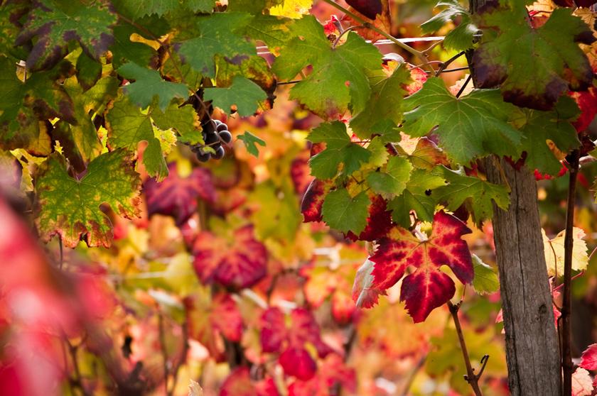 Grapevine bright red